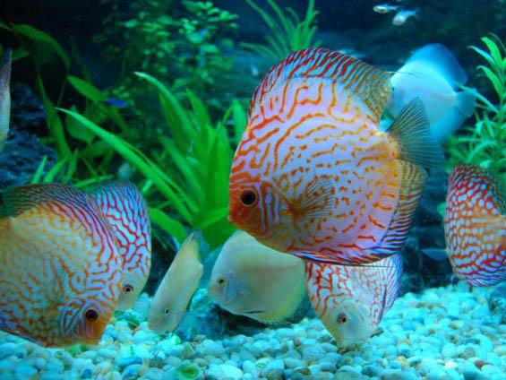 mua cá đĩa đẹp giá rẻ ở đâu tại TPHCM Hà Nội